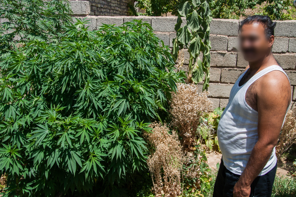 marihuana w ogrodzie